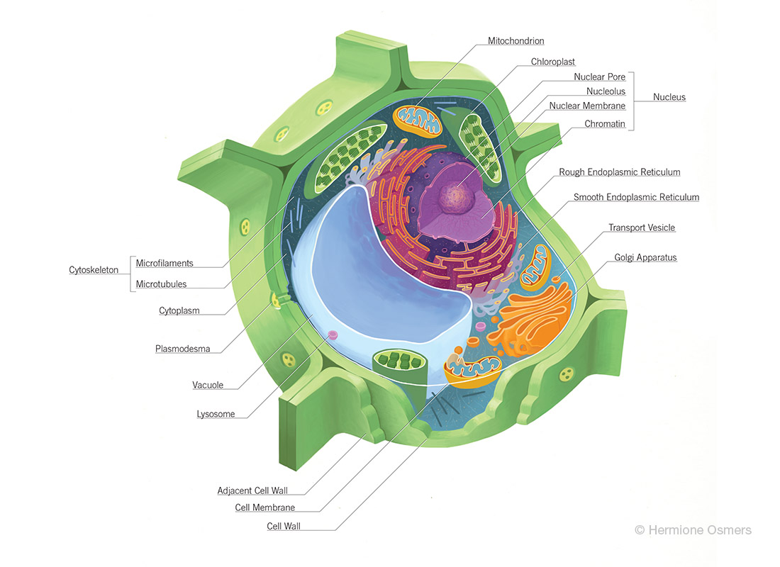Plant Cell Diagram Plant Cell