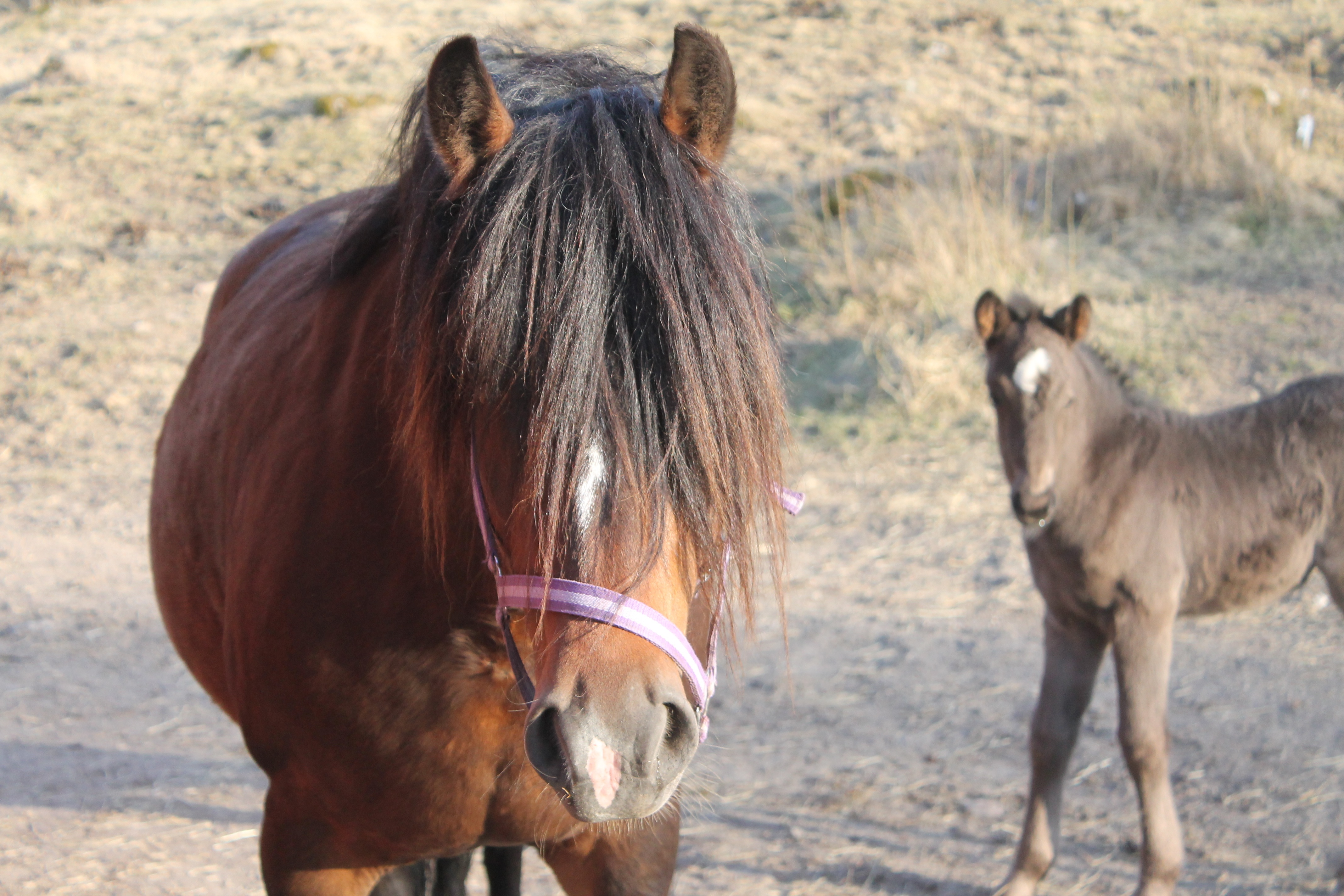 Mother And Baby Horses Free Image