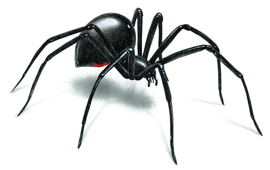 Black Widow Spider Drawing N3 Free Image