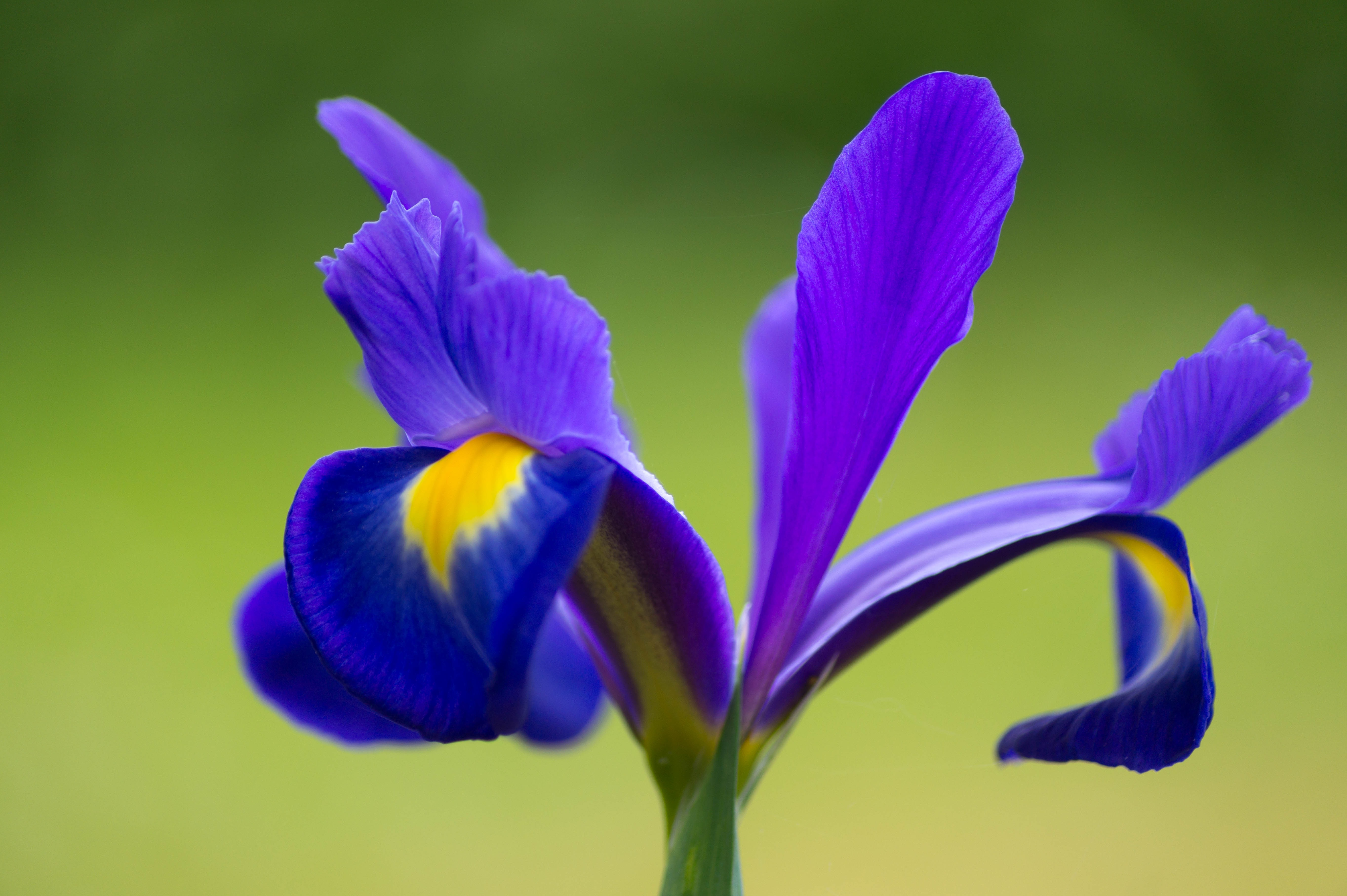 Closeup of iris flower free image closeup of iris flower free download izmirmasajfo