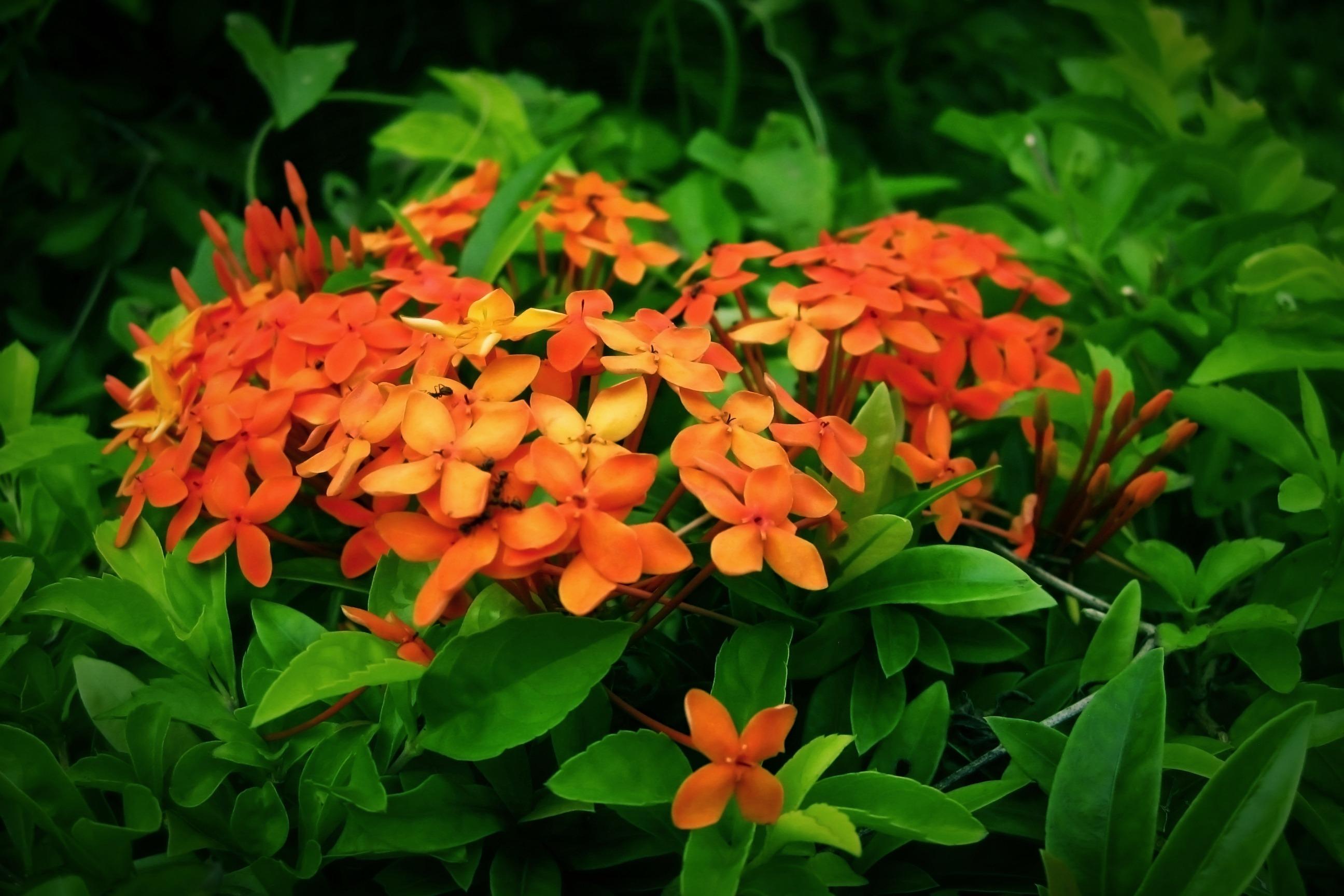 Shrub With Small Orange Flowers Free Image