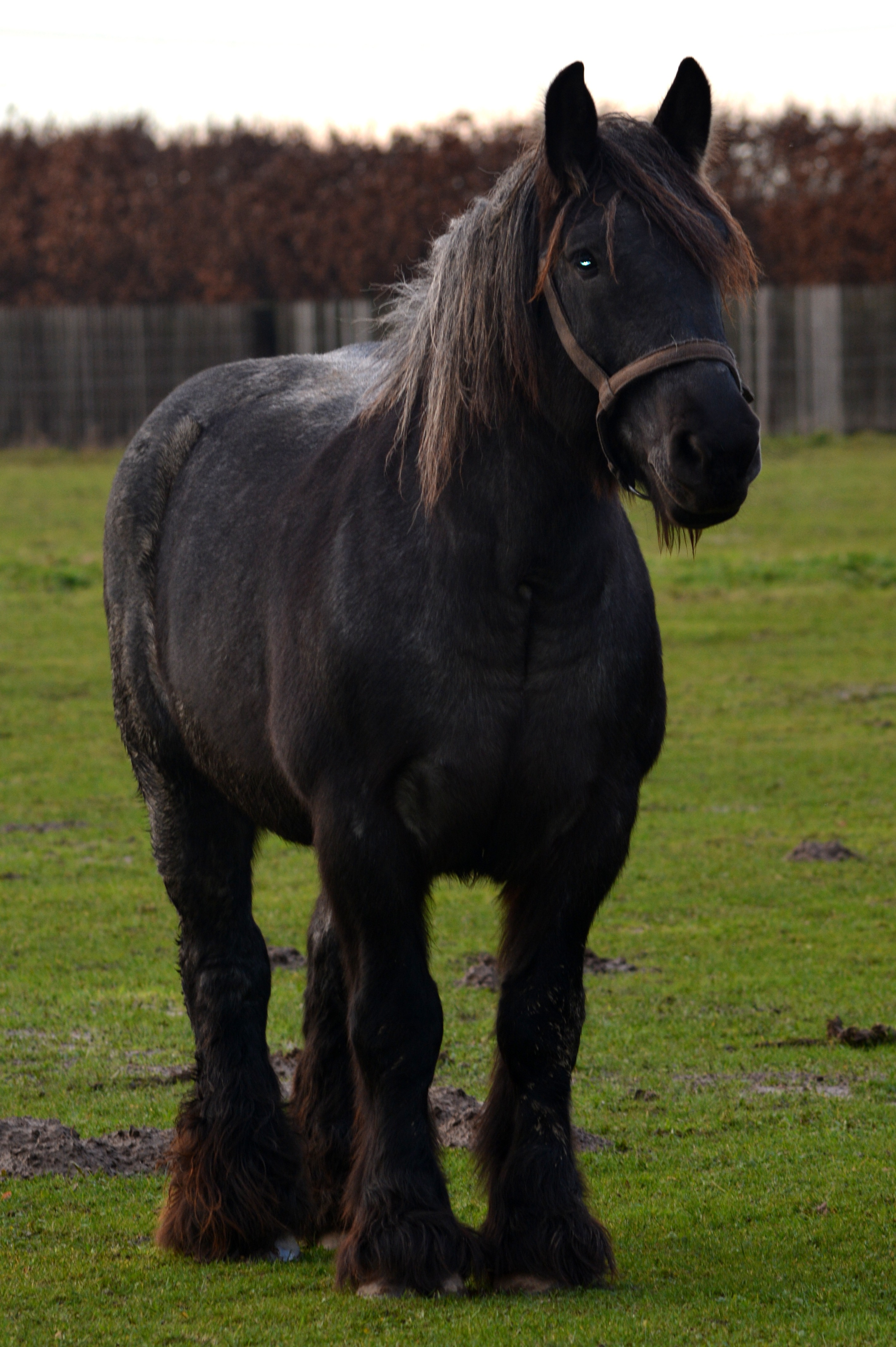 Black Draft Horse On A Green Meadow Free Image