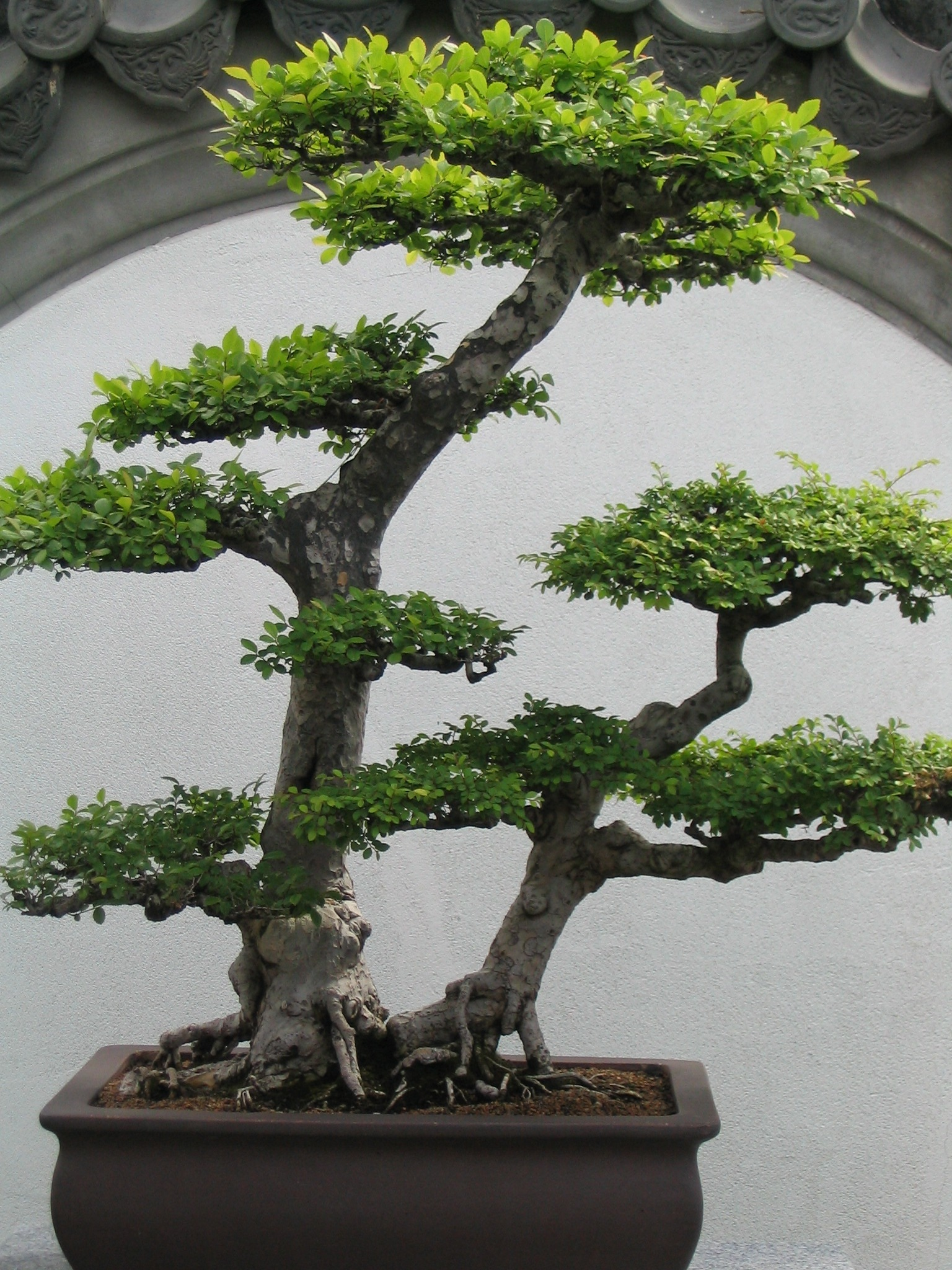 Small Bonsai Tree Potted Plant Free Image
