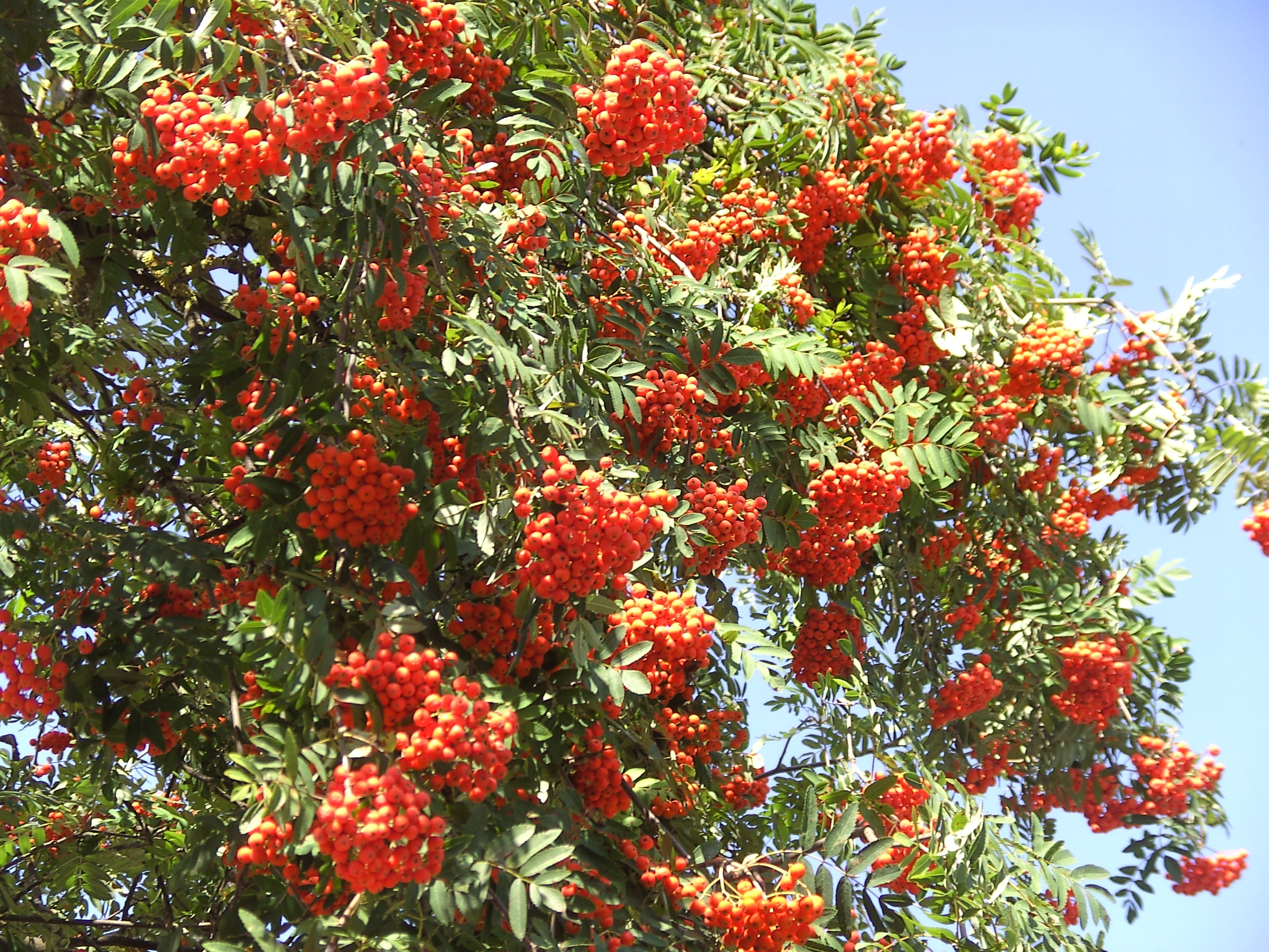 Rowan Tree With Red Berries In Autumn Free Image