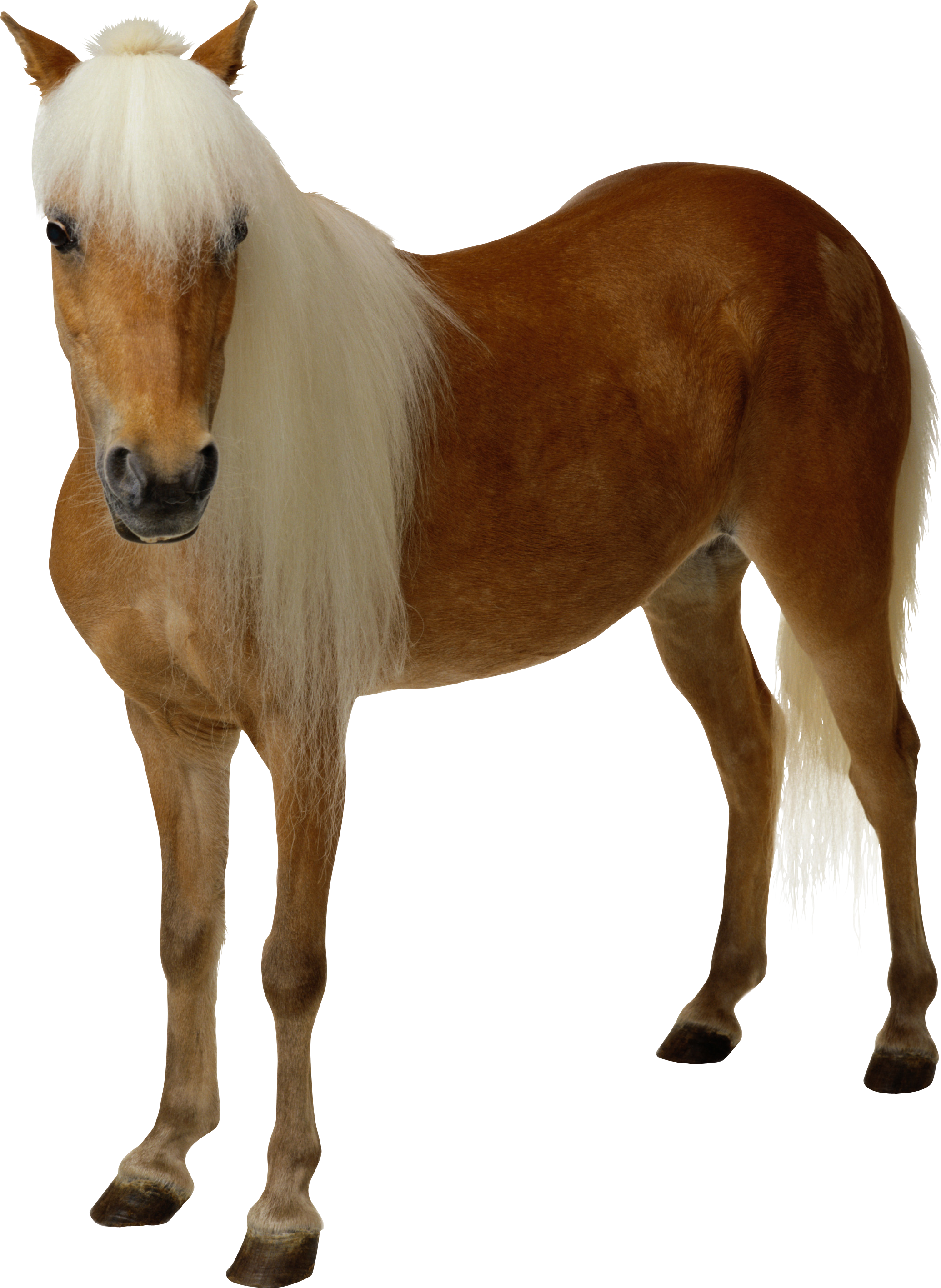 Brown Horse With A White Mane On A White Background Free Image