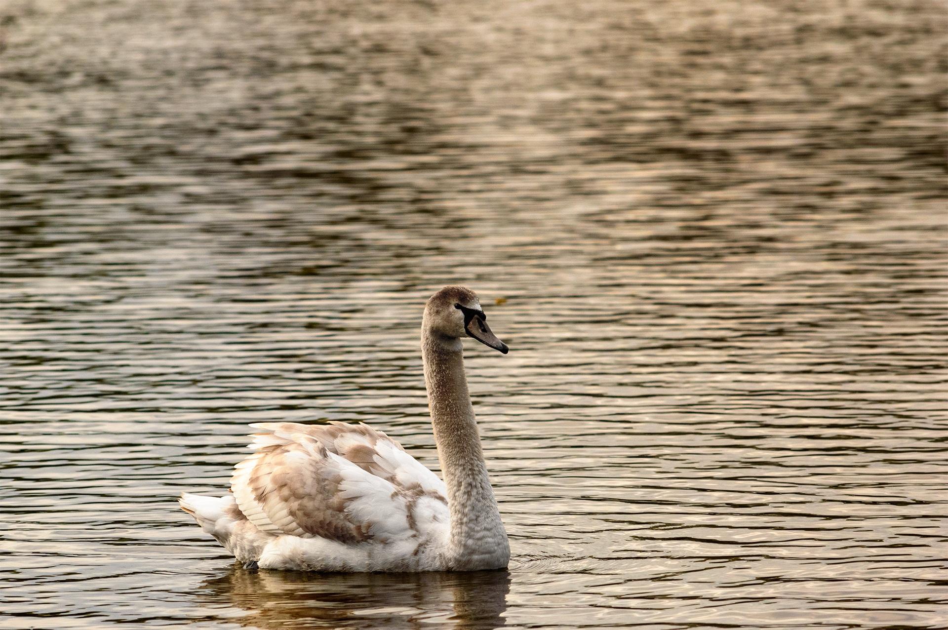 Wonderful And Beautiful Swan Free Image Download