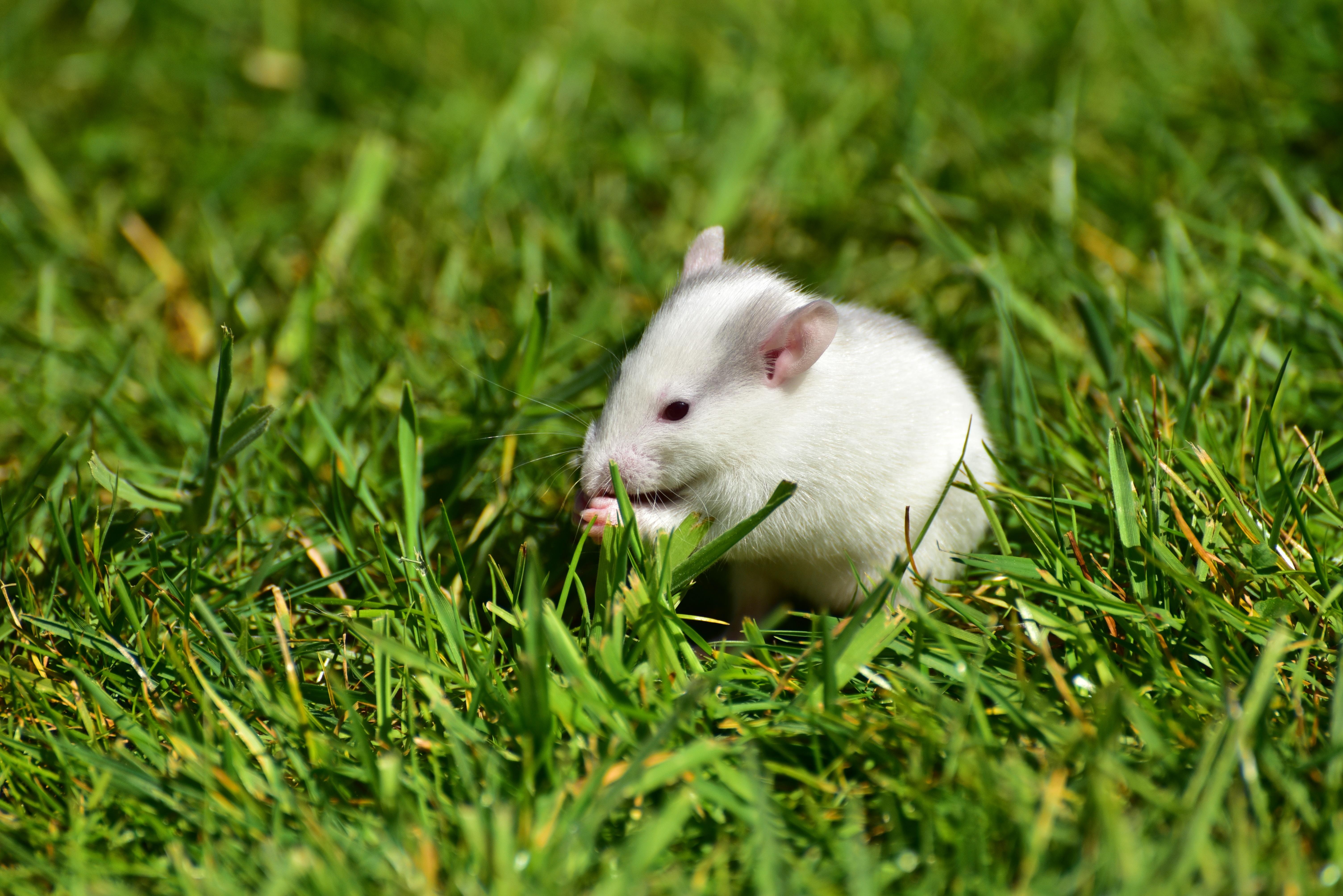 Wonderful And Beautiful Baby Rat Free Image Download