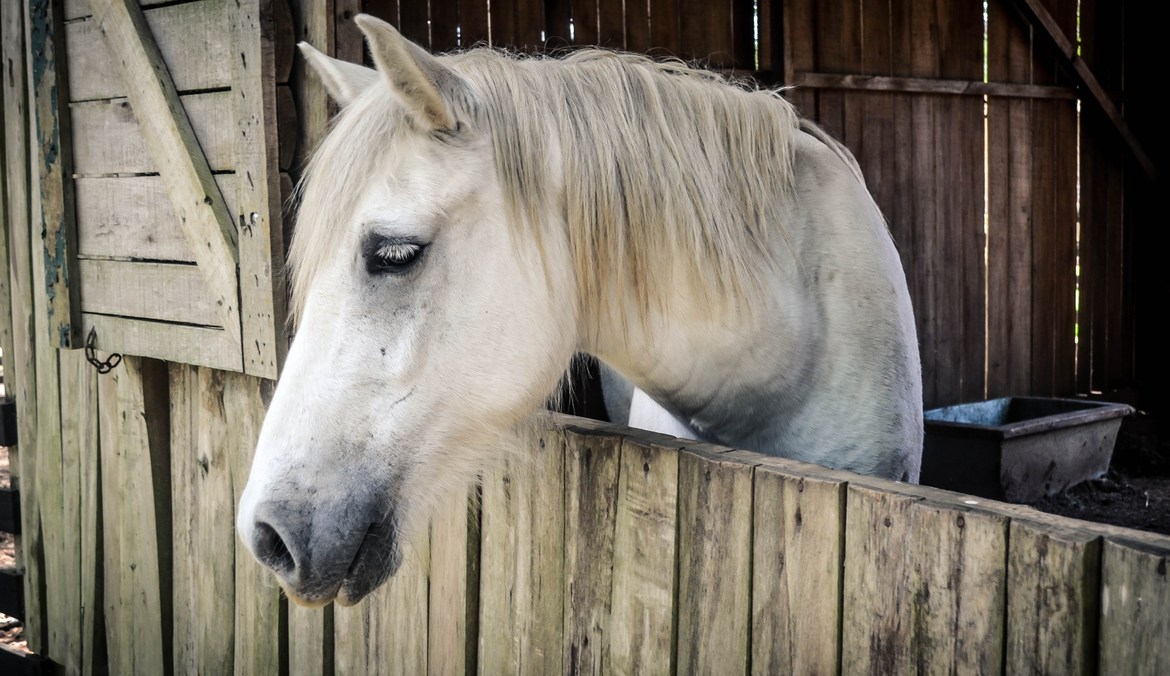 Beautiful White Horse In A Stable Free Image
