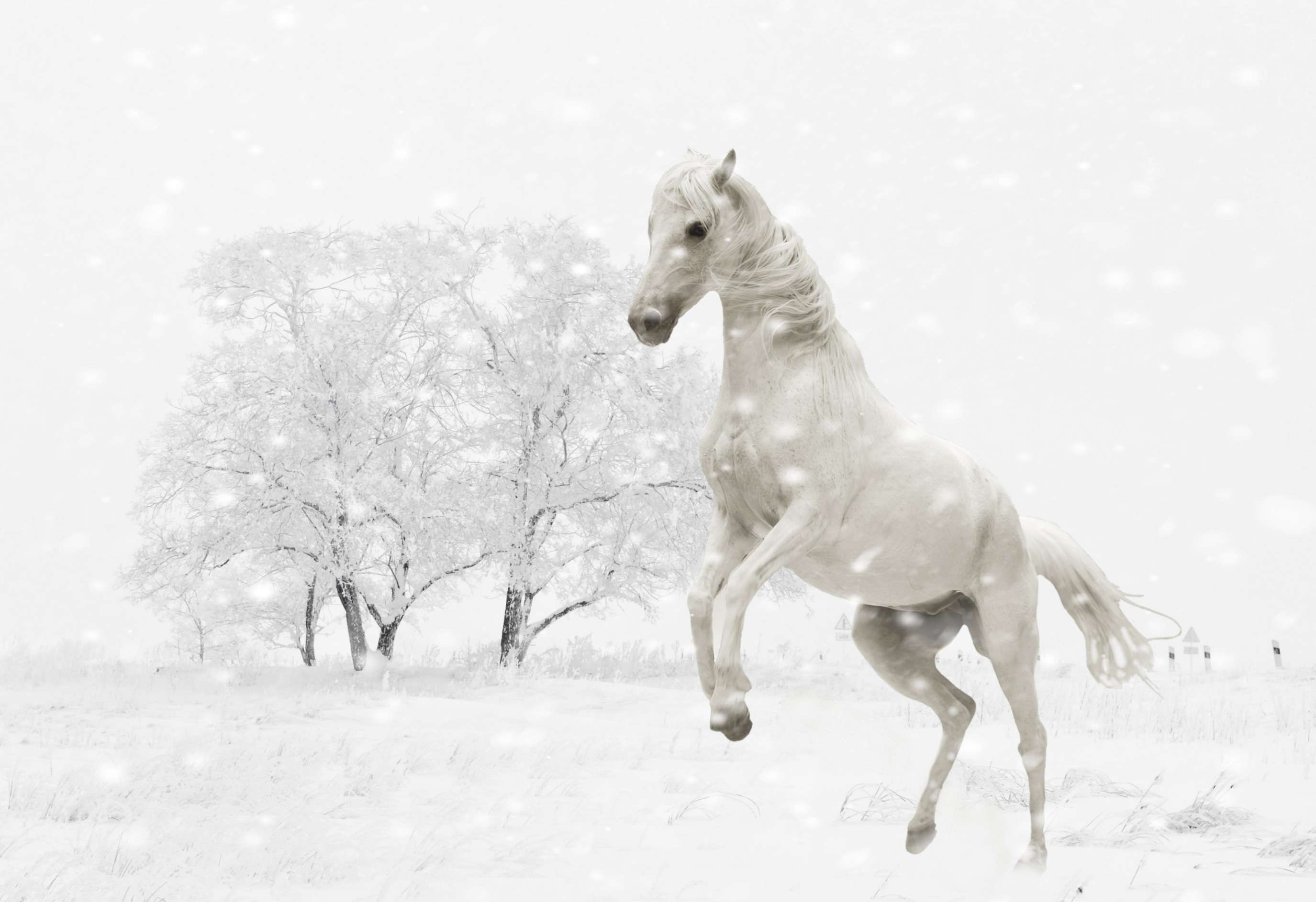 White Horse Is Jumping In The Snow Free Image