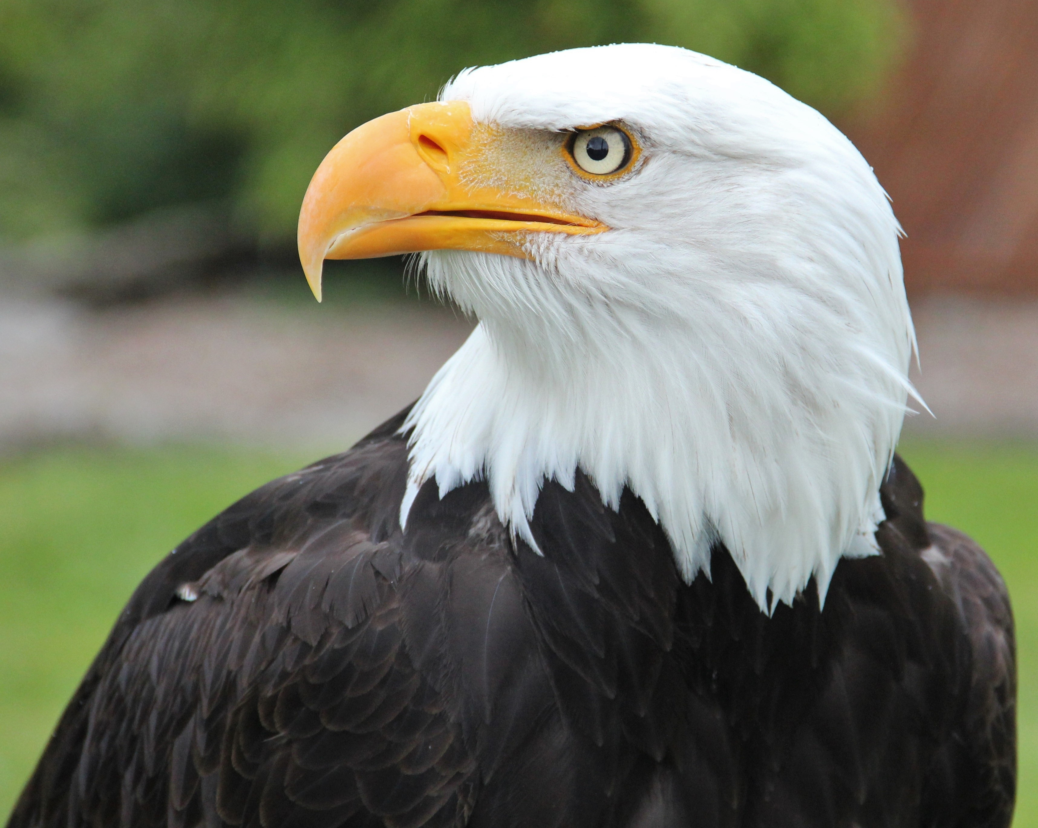- Head Of Bald Eagle In Black And White Color Free Image