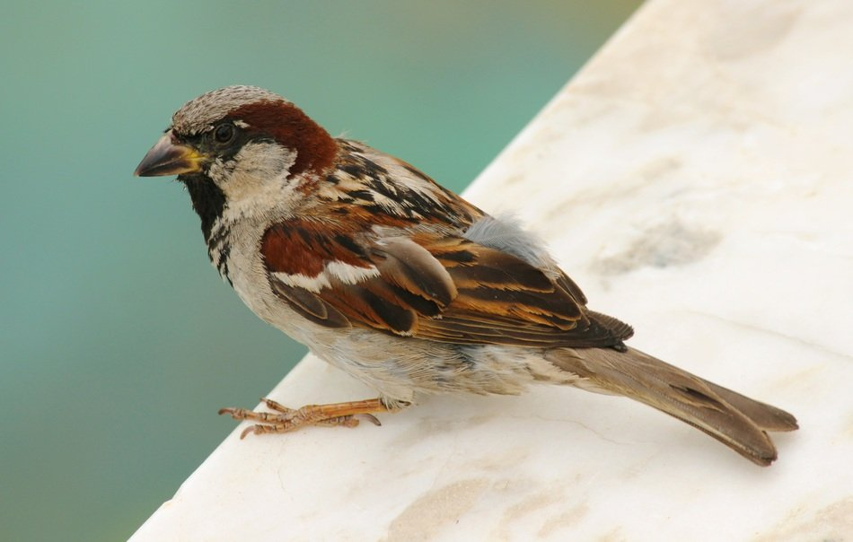 Cute And Beautiful Bird Sparrow Free Image