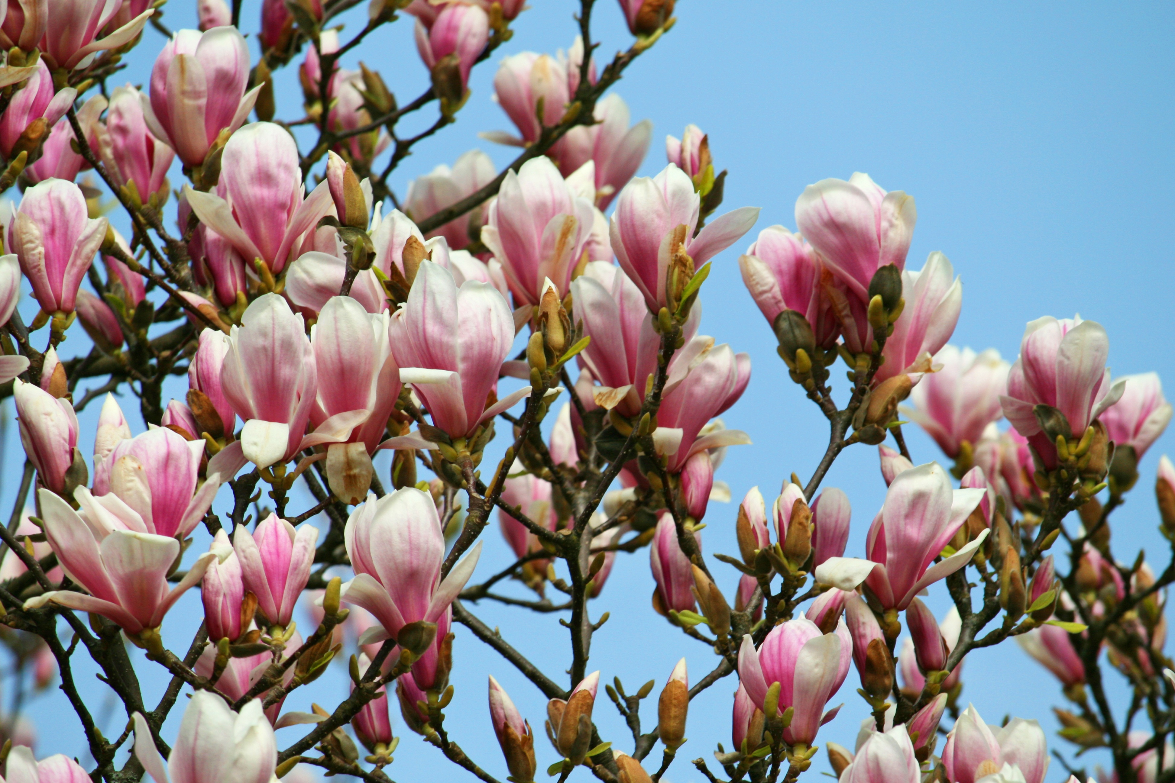 Pink Magnolia Tree Blossoms At Sky Free Image