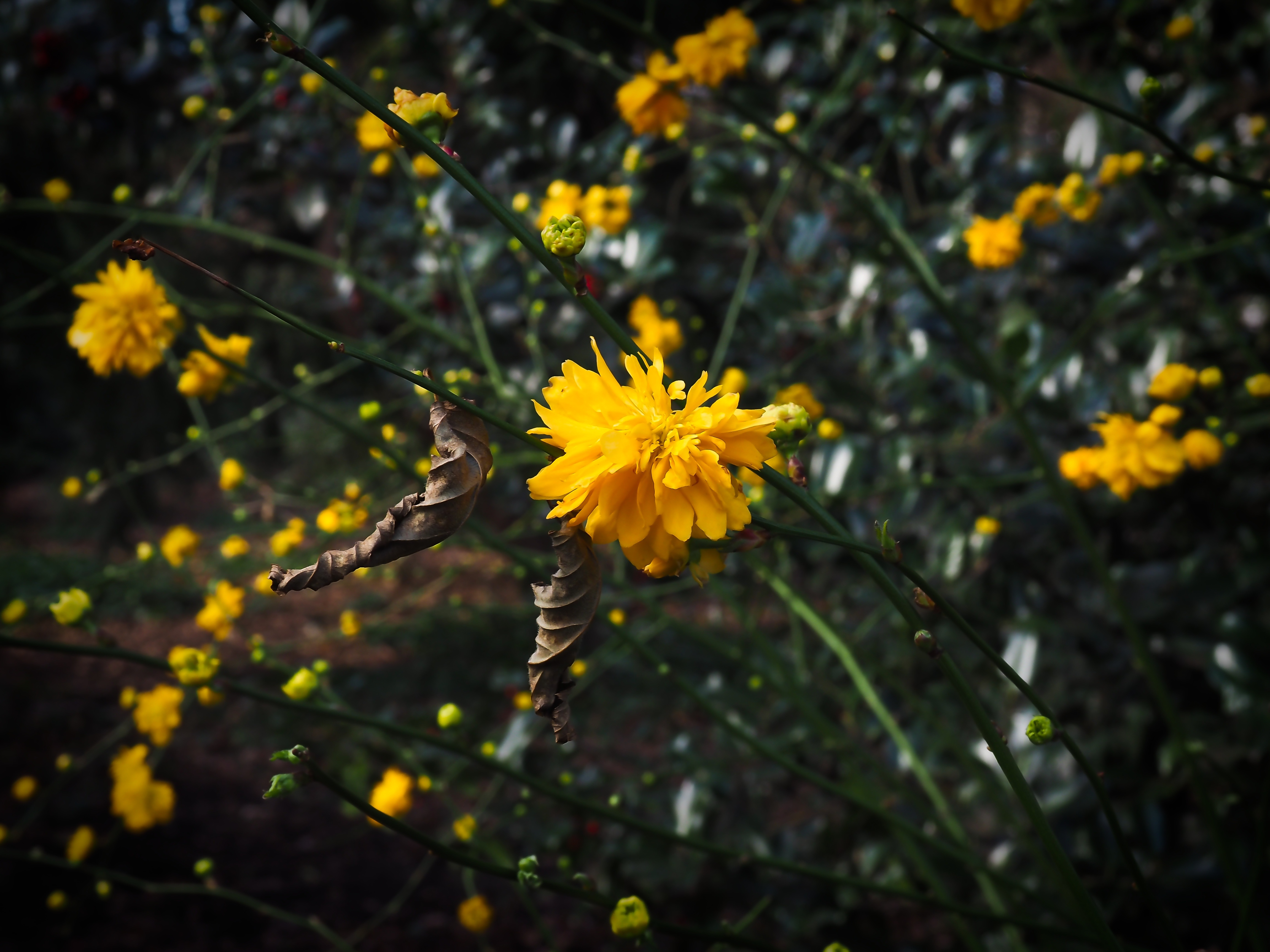 Bush With Yellow Flowers In Spring Free Image