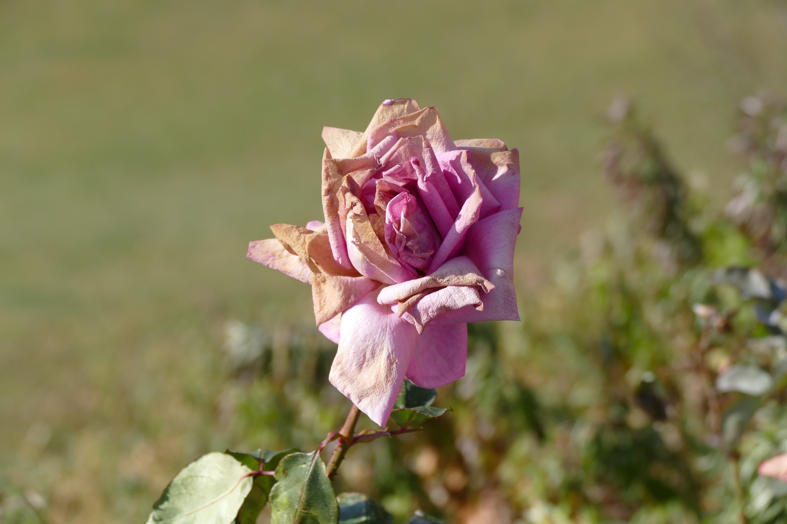 Dried Faded Rose Free Image