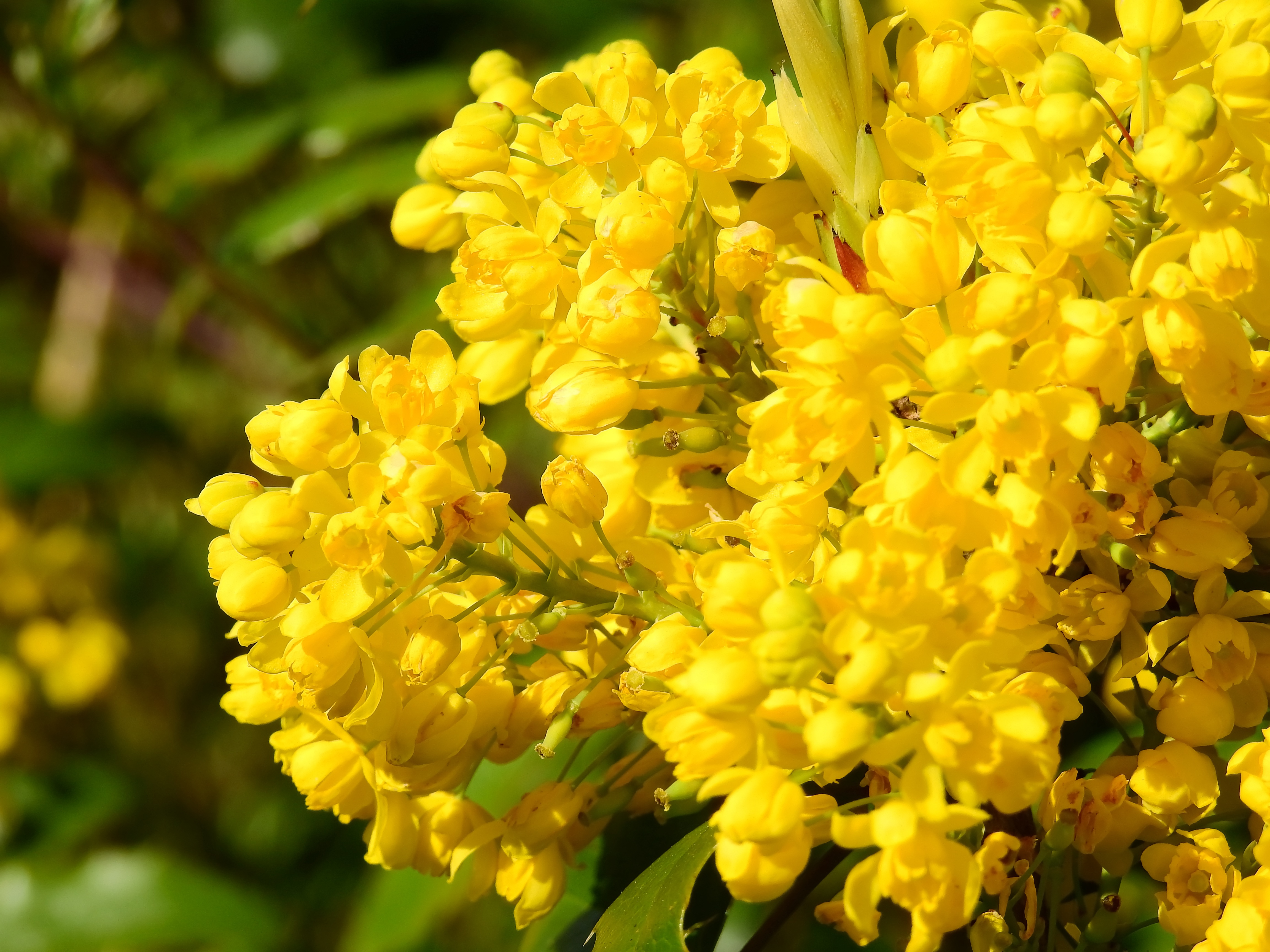 Spring Bush With Yellow Flowers Free Image