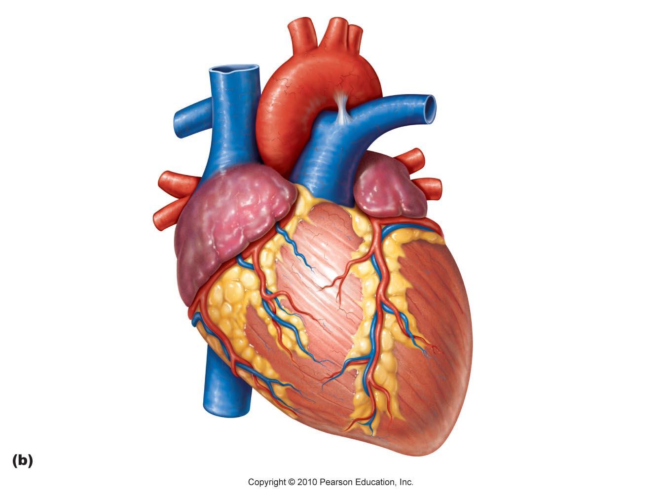 human heart diagram unlabeled free image Human Heart Diagram Cross Section human heart diagram unlabeled � free download
