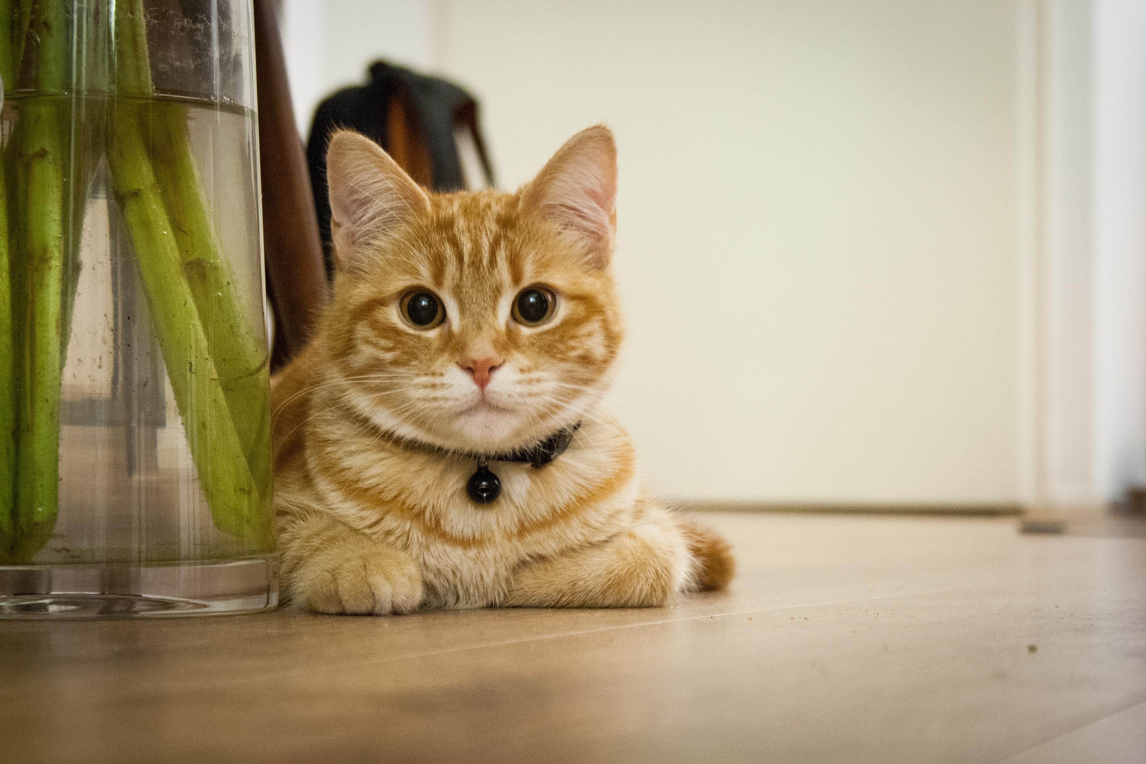 Cat spraying indoors