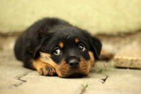 lying cute rottweiler puppy dog
