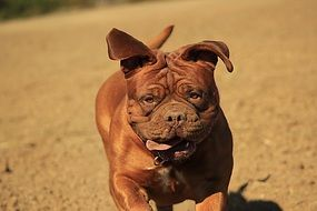 running dog de bordeaux