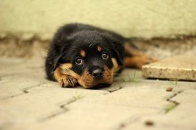 cute rottweiler puppy with a wall background