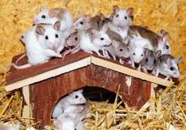mastomys mice home wood roof