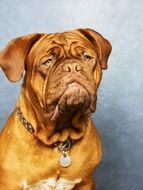 The Dog de Bordeaux, Bordeaux Mastiff, French Mastiff , thoroughbred dog
