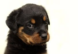 beaulful rottweiler puppy on white background