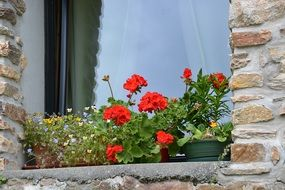 geraniums flowers red geranium on window sill