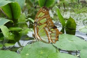 malachite butterfly sitting on green leaf on pond