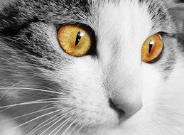 yellow eyes in black and white cat