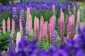 fukushima prefecture bright color lupine