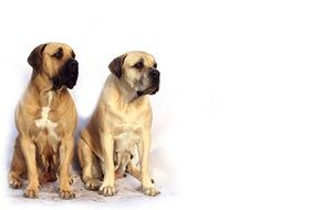 two thoroughbred white mastiff dogs