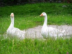 two white geese in grass