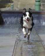 border collie at the city fountain
