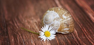 empty snail shell and daisy on wooden surface