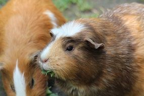 eating grass guinea pigs