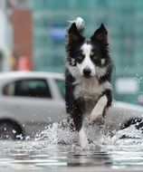 black and white dog running through water on street in city