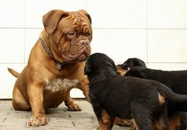 familiarity rottweiler puppies with the mastiff dog