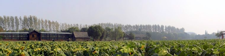fiield of ripening sunflowers at countryside, china
