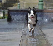 border collie playing with fountain