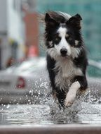 Border collie running in water