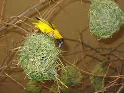 yellow bird nests