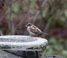 male sparrow sits on stone fountain