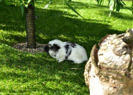 guinea pig on grass, cavia porcellus