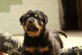 cute rottweiler puppy dog