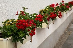 flower boxes with red Geranium in row