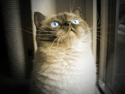 british shorthair cat with blue eyes looking up