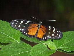 white spotted black and orange heliconius butterfly on green leaves
