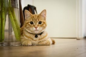ginger domestic kitten with a collar