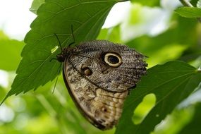 exotic owl butterfly on leaf in mainau